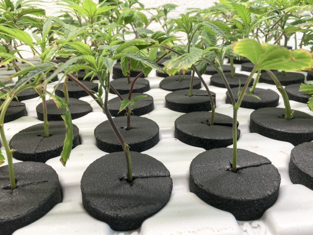 DANk Dispensary and Grow showing Propagation Stage of Production