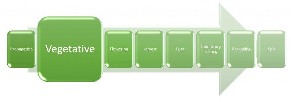 cannabis-cultivation-vegetative